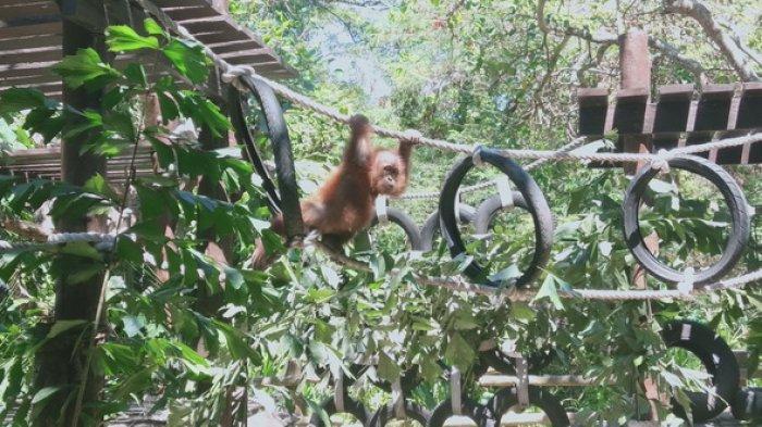 Orangutan Korban Penyelundupan WN Rusia Sudah Aktif Kembali