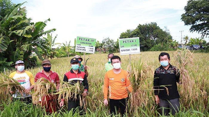 Pemkab Klungkung Panen Demplot, Hasilnya Pupuk Organik Lebih Produktif Hasilkan Gabah daripada Kimia