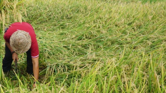 Padi Varietas Baru Mulai Dikembangkan di Klungkung, Jangan Sampai Petani Kewalahan Dapatkan Bibit