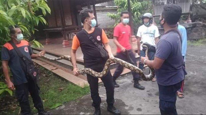 Tim BPBD Denpasar Tangkap Ular Piton Panjang 4 Meter,Seminggu 9 Ular & Biawak Ditangkap di Pemukiman