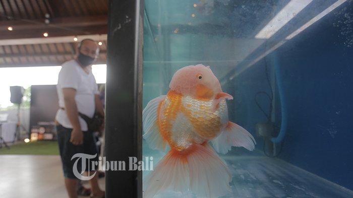 33 Pencinta Ikan Koki Pameran di Dharmanegara Alaya Denpasar, Saat Pandemi Peminat Meningkat