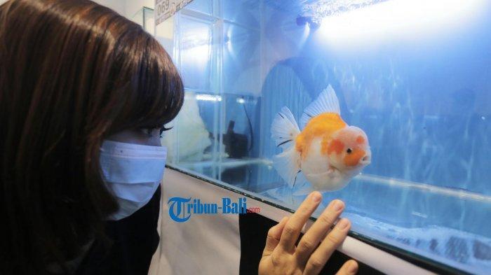 160 Ikan Koki Dipamerkan di Dharmanegara Alaya Denpasar Bali, Hadirkan 5 Kategori Ikan