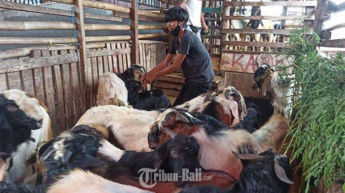 Penjualan Kambing Kurban Idul Adha di Kampung Jawa Denpasar: Dulu 30 Ekor, Kini 5 Ekor Perhari