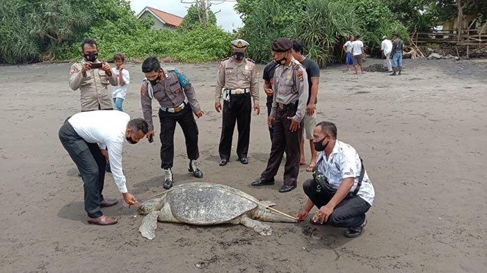 Penyu Hijau Mati dan Terdampar di Pantai Yehembang Jembrana Bali hingga Jadi Perhatian Warga Sekitar