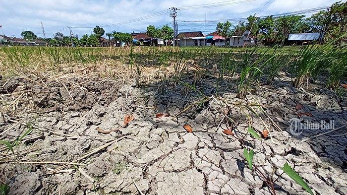 17 Hektare Sawah di Kecamatan Buleleng Gagal Panen, Ancaman Kekeringan di Bali