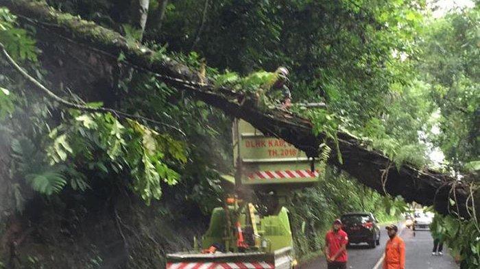 Pohon Aren Tumbang di Pelaga Badung, Arus Lalulintas Sempat Terganggu
