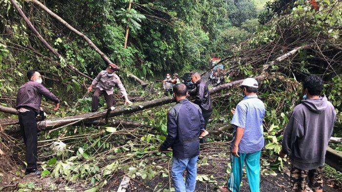 Pohon Tumbang Akibatkan Jalur Bangli - Besakih Lumpuh Beberapa Jam