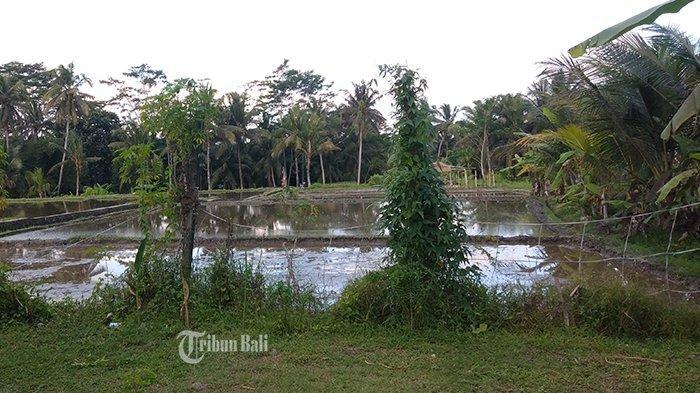 Luas Tanam di Gianyar Naik Signifikan, Dampak Pandemi Banyak Pelaku Pariwisata Beralih ke Pertanian