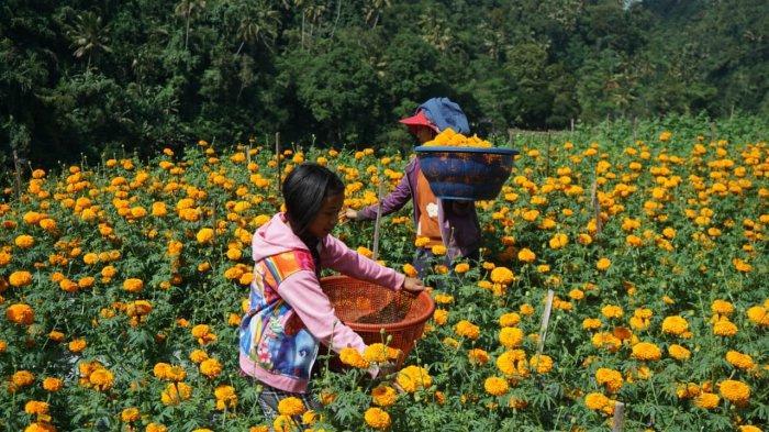 Banyak Penyekatan, Petani Bunga Gumitir di Karangasem Mengeluh karena Harga Jual Turun Drastis