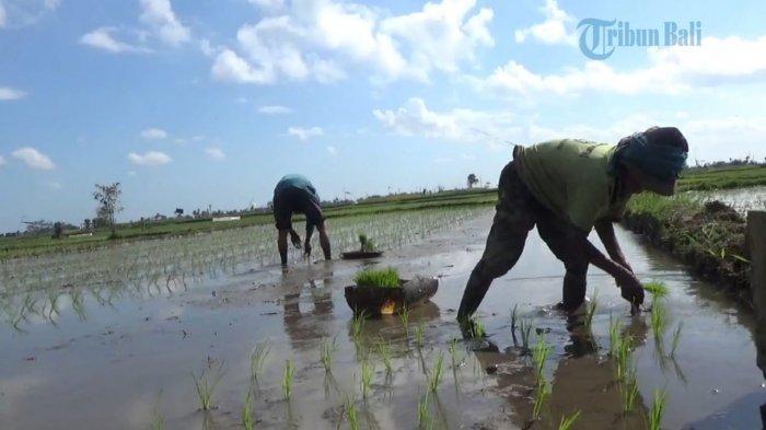 Gianyar 'Kecipratan' Perbaikan Irigasi dari Kementerian Pertanian