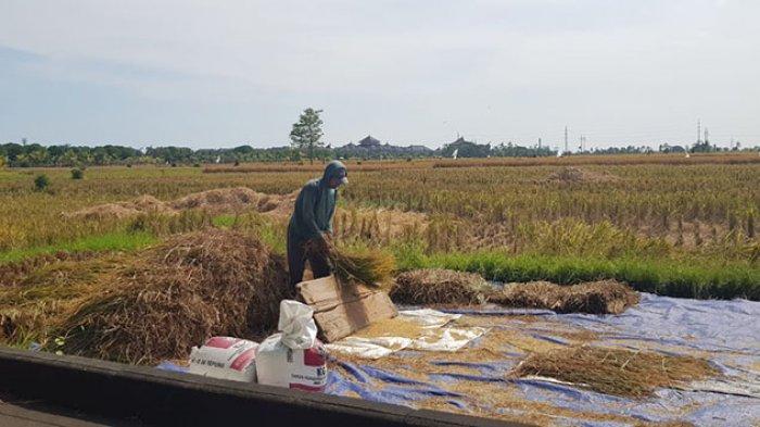 Pertanian di Badung Nihil Puso, Produksi Padi Musim Tanam I Capai 15.614 Ton