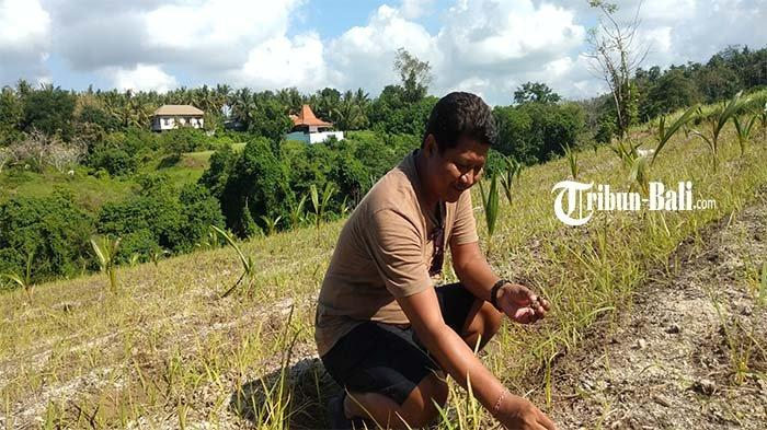 Anggota DPRD Gianyar Sulap Lahan Non Produktif Seluas 31 Are Jadi Kebun Beromset Puluhan Juta Rupiah