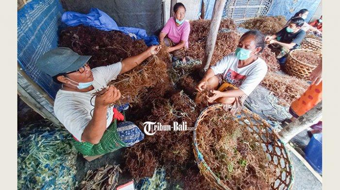 Terserang Penyakit, Rumput Laut di Banjar Nyuh Kukuh Nusa Penida Harus Dipanen Dini