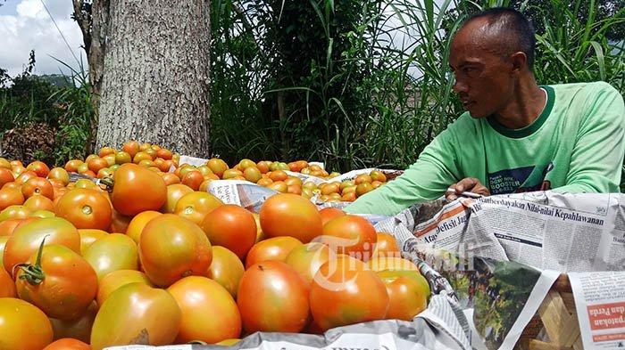 Hari Ini Harga Bawang Putih & Tomat Naik, Berikut Daftarnya di 4 Pasar Kota Denpasar