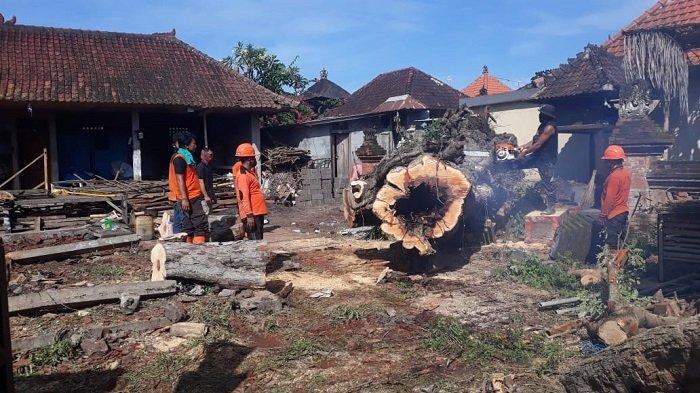 Sepeda Motor dan Bangunan Pura Tertimpa Pohon Tumbang di Ketewel, Kerugian Ditafsir Rp 800 Juta