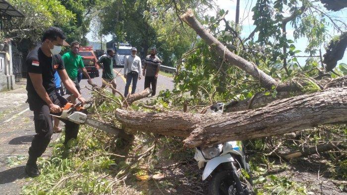 Pohon Celagi Tumbang di Karangasem, Seorang Pengendara Motor Cedera Parah di Kepala Hingga Pingsan