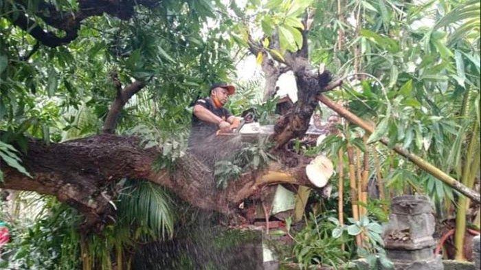 Pohon Tumbang Timpa Pelinggih Milik Nyoman Belasin, BPBD Karangasem Turunkan Tim Lakukan Penanganan