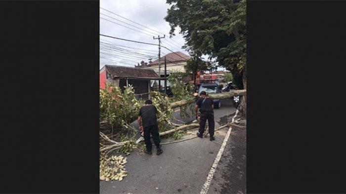 Pohon Perindang Sepanjang 12 Meter Tumbang Timpa Pengendara di Jalan Untung Surapati Karangasem