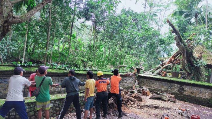 Pohon Beringin Tumbang Timpa Pelinggih Pura Subak Yeh Kuning Karangasem