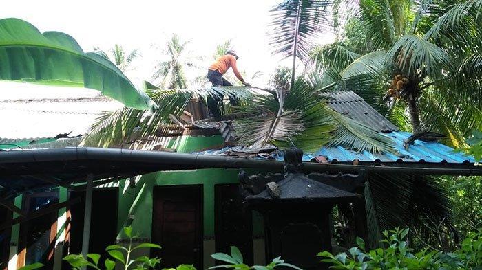 BREAKING NEWS: Pohon Kelapa Tumbang Menimpa Rumah Ketut Saba, Merusak Bagian Atap dan Kanopi
