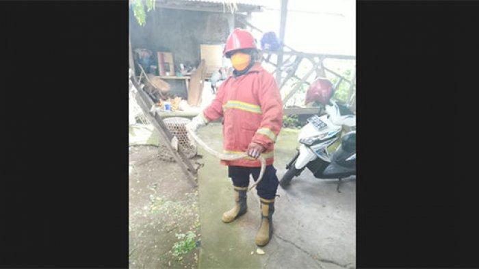 Ular Kobra Masuk ke Pekarangan Rumah Warga di Kelurahan Padang Kerta Karangasem