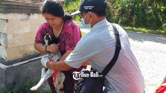 Populasi Anjing di Tulikup Gianyar 290 Ekor, Per Hari Tim Vaksin Rabies Harus Vaksin 100 Ekor Anjing