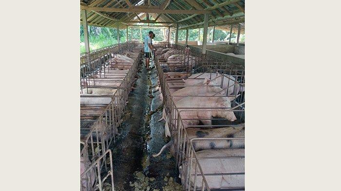 Kondisi Masyarakat Sulit di Masa Pandemi, Sejumlah Dadia di Kubu Bangli Putuskan Tak Mepatung Babi