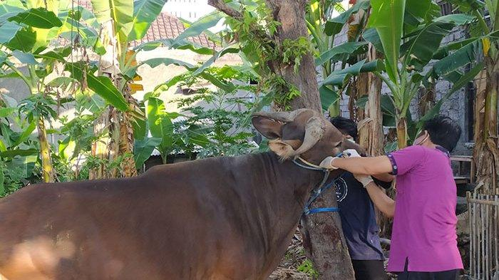 Hewan Kurban di Kelurahan Banyuasri Buleleng Jalani Pemeriksaan Antemortem Sebelum Dipotong
