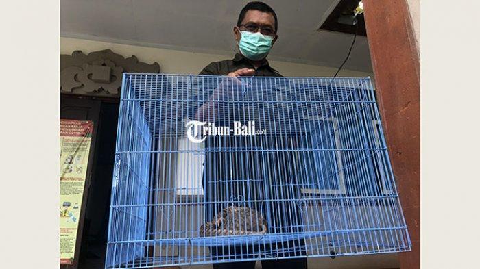 Termasuk Hewan Dilindungi, UPTD KPH Bali Barat Amankan Trenggiling Usia 1 Tahun