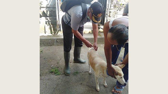 Dua Tahun Terjadi Empat Kasus, 12.066 Ekor Anjing di Tabanan Divaksin Rabies