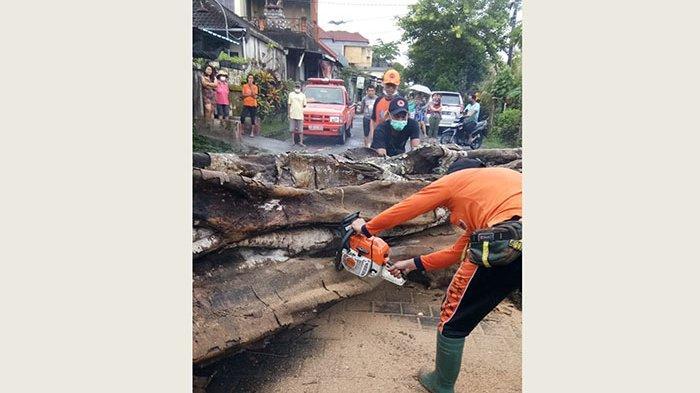Pohon Tumbang Halangi Jalan Pemukiman di Dauh Peken Tabanan,Masyarakat Diharapkan Waspada