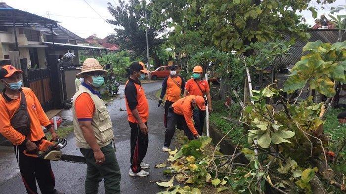 Pohon Jati Tumbang di Jalan Srikandi Klungkung Bali, Sempat Tutup Akses Jalan Warga