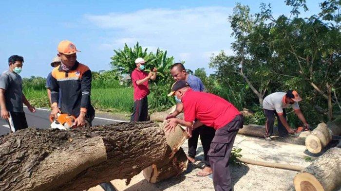 Pohon Perindang Tumbang Menutup Seluruh Badan Jalan di Klungkung Bali, Warga Sempat Balik Arah