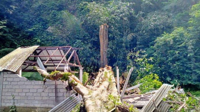 Pohon Pole Berusia Ratusan Tahun Tumbang Menimpa Pura Subak, Kerugian Diperkirakan Rp90 juta