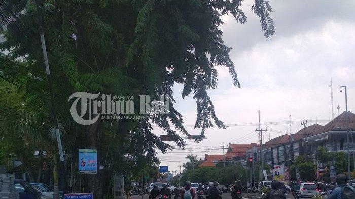 Pohon Rimbun di Perempatan Diponegoro Denpasar Ganggu Traffic Light