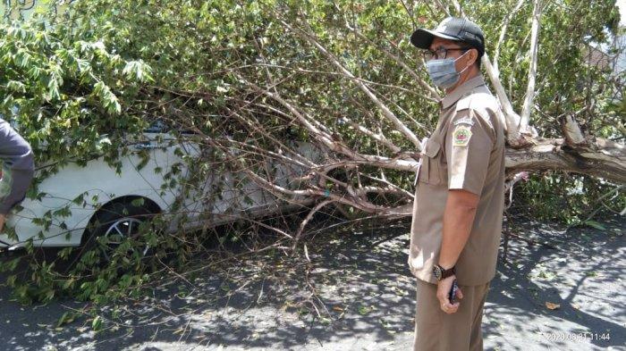 BPBD Gianyar Sebut Pohon Singapur yang Tumbang di Sukawati Gianyar Telah Lapuk