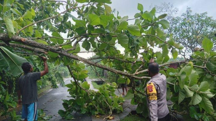 Akibat Hujan Deras, Pohon Jati Tumbang di Desa Baluk Jembrana