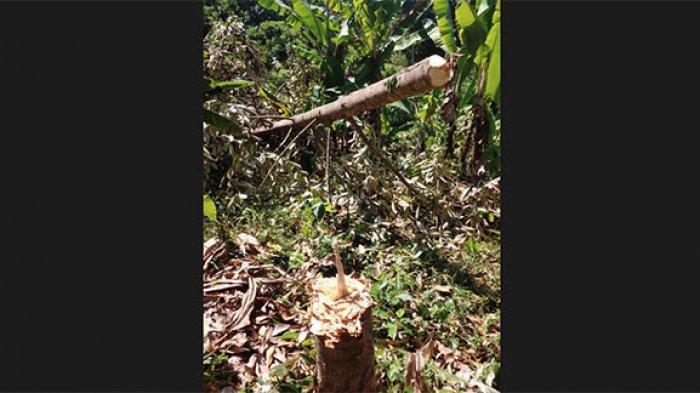 Geram Terhadap Pembabatan Hutan, Bupati Jembrana Bikin Sayembara Penangkapan Pelaku