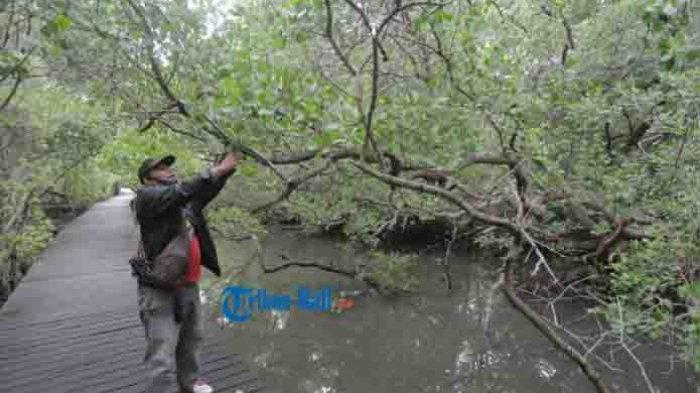 Agus Santoso, polisi hutan mengecek kerusakan tempat untuk pejalan kaki di kawasan Hutan Mangrove, Denpasar, Selasa 26 Januari 2021. Sejumlah fasilitas di Objek wisata Hutan Mangrove mengalami kerusakan disebabkan selama pandemi tidak beroperasi.