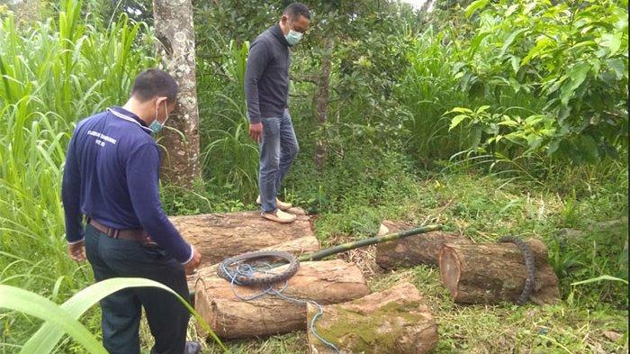 Suwita Ditangkap dan Terancam Denda, Tebang Satu Pohon di Hutan Negara di Tejakula Buleleng