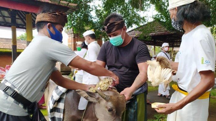 Jelang Hari Raya Nyepi di Bali, Prajuru Desa Adat Buleleng Gelar Upacara Mapepada & Sucikan 20 Hewan