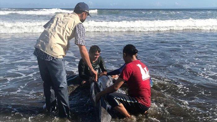 Kondisinya Sempat Kritis, Lumba-lumba yang Terdampar di Jembrana Bali Berhasil Diselamatkan