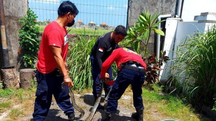 Ular Piton 3 Meter Sembunyi di Saluran Pembuangan Rumah Warga, Dievakuasi Damkar BPBD Denpasar