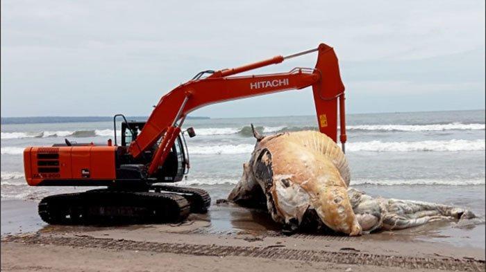 Bangkai Paus Terdampar di Pantai Batu Belig Kerobokan, Keluarkan Bau Menyengat