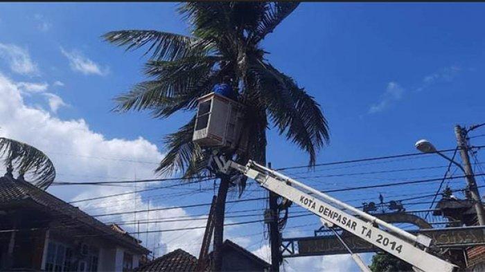 Petugas Damkar Denpasar dan DLHK Evakuasi Orang Terjebak di Atas Pohon Kelapa yang Diduga Kram Kaki