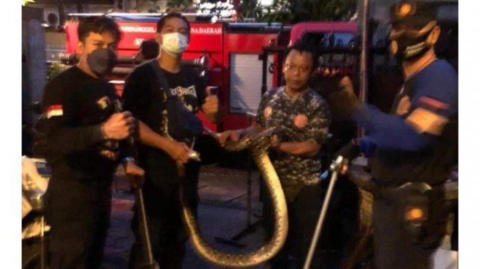 Dalam Dua Hari Terakhir BPBD Mengevakuasi 3 Ular Kobra dan 1 Piton Masuk Rumah Warga di Denpasar