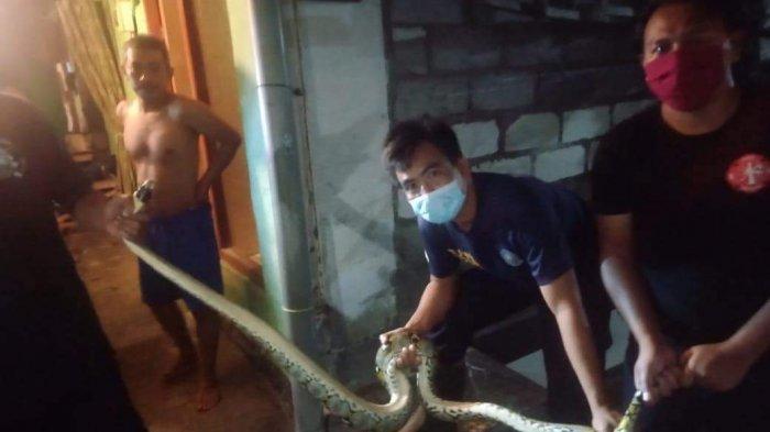Bersarang di Atap Plafon Rumah Warga di Denpasar, Ular Piton 3 Meter Dievakuasi BPBD