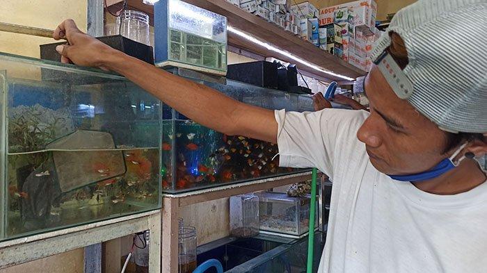 Perawatan Hampir Sama Seperti Ikan Cupang, Kini Ikan Guppy Mulai Diminati Masyarakat di Denpasar