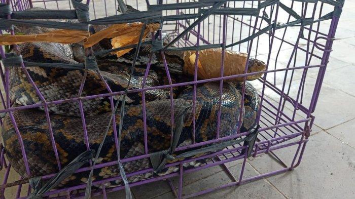Geger, Ular Sanca Berukuran Sekitar Tiga Meter Masuk ke Rumah Warga di Jembrana, Mangsa Ayam
