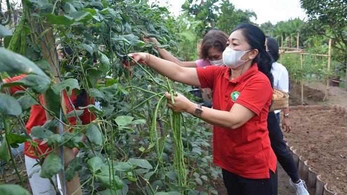 Antari Jaya Negara Panen Sayuran di Sumerta Klod, Salurkan ke Dapur Umum